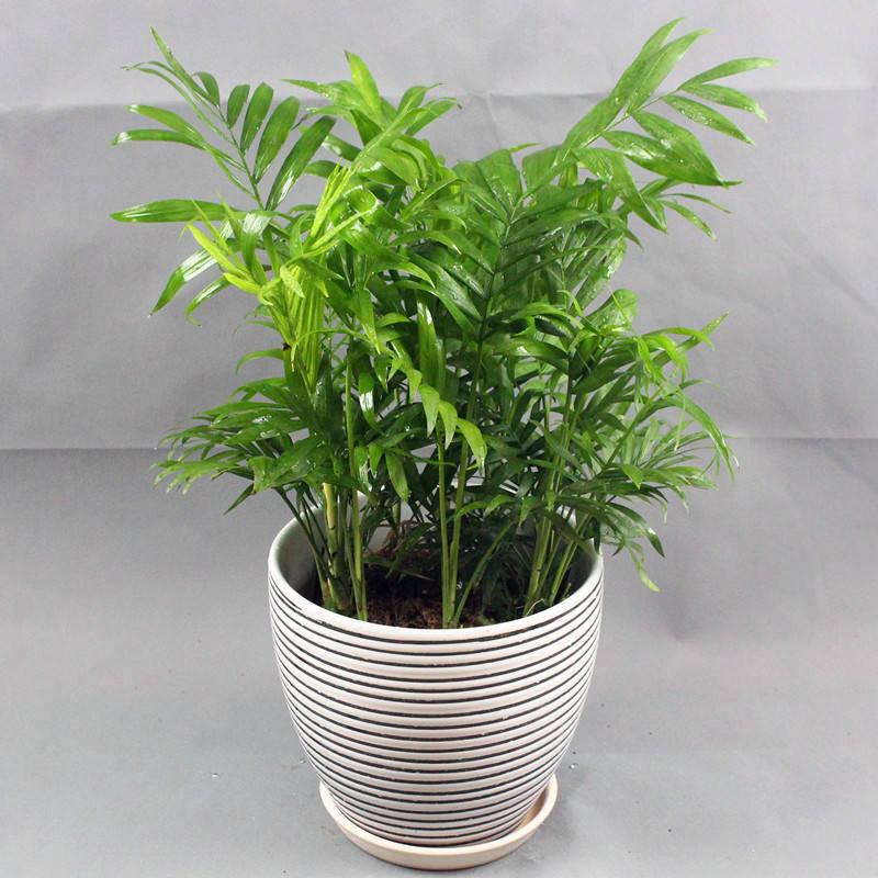 重庆植物租摆绿盒子园艺告诉你袖珍椰子的四季